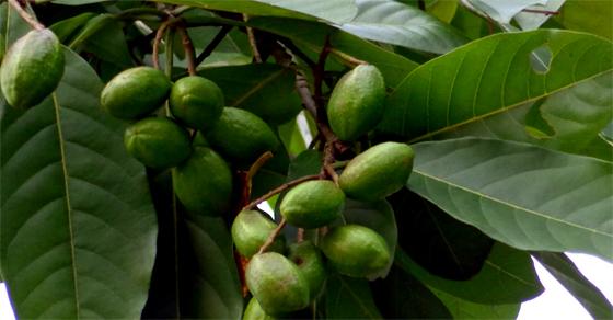 Kha Tử thường được tìm thấy ở các cánh rừng thưa