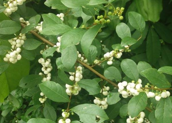 Cây cơm nguội còn được gọi là cây nhội, thu phong, hay trọng dương mộc